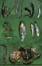 Fishery products in the African rainforest