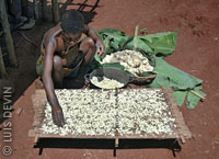 Cassava sun drying in the African rainforest (Baka Pygmies)