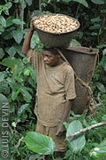 Pygmy woman with a basket of freshly harvested peanuts in a forest plantation